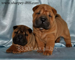 Shar-Pei charming club puppies for cultivation and