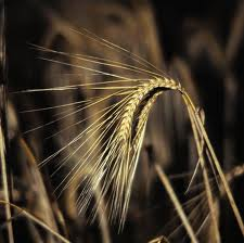 Семена озимого ячменя сорта Майбрит