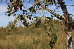 Sadzonki orzecha włoskiego szczepione