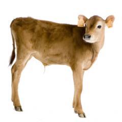 Substitute of whole milk for calfs Ukraine
