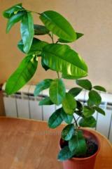 Лимон Киевский, растение 60-80 см, возраст 1 год, в стадии плодоношения