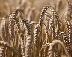 Выращивание зерна до 1000т