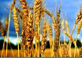 Выращивание зерновых до 1000т