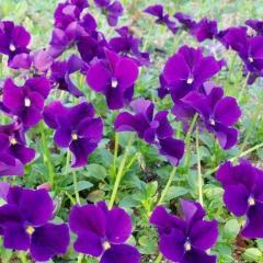 Viola cornuta 'Hansa' Фіалка