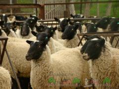 Стригаль для овец