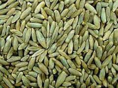 Rye seeds, hybrid sale wholesale Ukraine