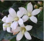 Гардения цветы и комнатные растения из Голландии