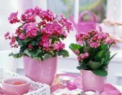 Saksı /oda çiçekleri