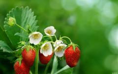 Strawberry, wholesales
