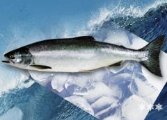 Fish fresh-frozen: sturgeon Siberian, pollock,