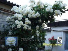 Плетистые (вьющиеся) розы Шнее Вальзер