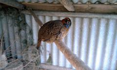 Pheasant tragopan Temminka