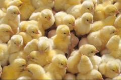 Los pollos broylery, la gallina ponedora, tetra,