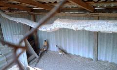Royal pheasan