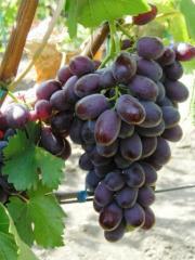 Выращивание лучших сортов столового винограда.