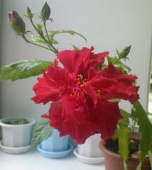 Гибискус Махровый красный