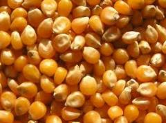 Seeds of corn and sunflower of SINGENTA,