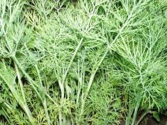 Дилл семена укропа (Clause) (500 гр.)