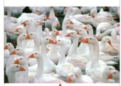 Комбикорм для птицы,  комбикорм Гуси стартовый 1-3
