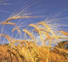 Зерновые культуры, зерно, экспорт зерна
