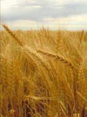 Пшеница, Зерновые культуры, ячмень