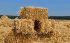 Lucerne hay in bales