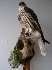 Falcon Balobang