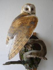 Owl of a sipukh