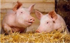 Выращивание и продажа свиней