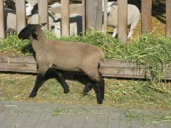 Племенной баран-производитель породы Суффолк