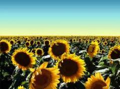Sowing material of sunflower, corn wholesale of