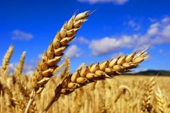 Winter wheat 2-Y And 3-Y CLASS, HARVEST of 2015