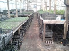 Рассада овощей, пряностей и зелени под заказ