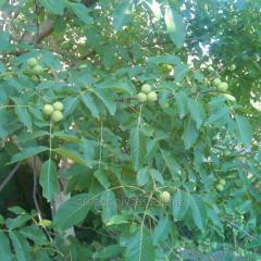 Саджанці горіха грецького