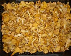 Mushroom chanterelle fresh wholesale