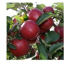 Apple-tree Red Dzhonaprints.