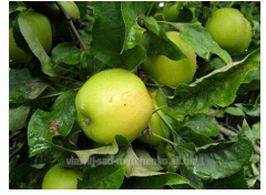 Apple-tree Golden Delishes.
