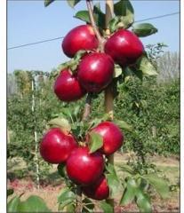 Яблоня сорт Моди.