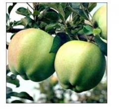 Apple-tree Sapphire's grade.