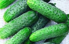 Cucumber wholesale expor