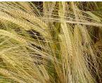 Barley, summer