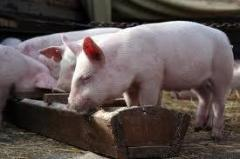 Mineral additive to pigs on growing and sagination