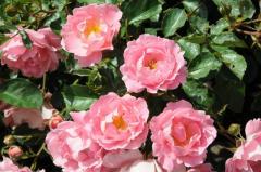 Розы в ассортименте