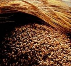 Grain rye extrusive
