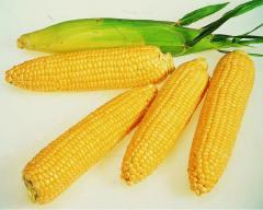 Corn of hybrid Anamur
