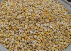 Семена кукурузы Нора  Семенной материал,