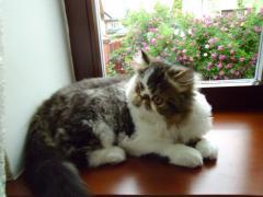 Persian cat, male, tabb Brown and vay