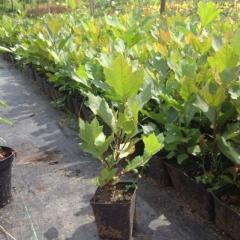 Platanus x acerifolia Платан кленолистий,P9