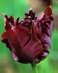 Луковицы тюльпанов Black Parrot