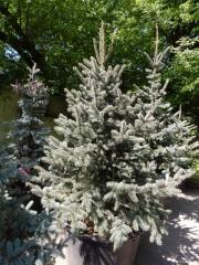 The blue Colorado spruce of Hupsiya (picea pungens